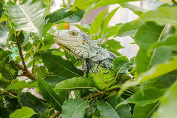 The Iguana on the Tree