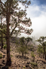Canarian pines in the clouds