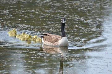 Goslings, Baby Goose