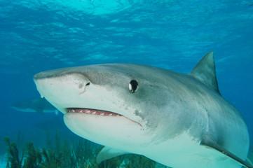 Tiburón tigre en Bahamas