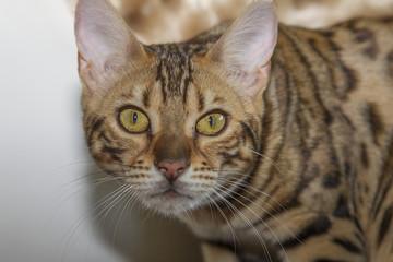 Cat bengal face