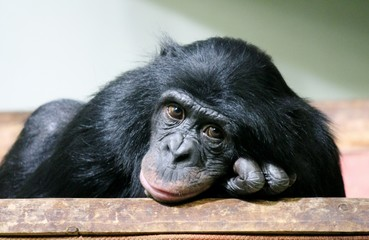 chimpanzee chimp monkey ape (Pan troglodytes or common chimpanzee) chimp looking sad and thoughtful stock photo photograph image picture