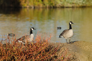 Canada Geese Resting Beside the Autumn Lake