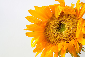 Wilting sunflower with