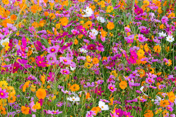 Cosmos flowers in the filed.
