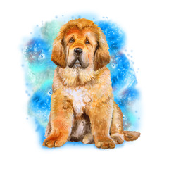 Watercolor portrait of Tibetan Mastiff breed dog isolated on blue background. Hand drawn sweet pet. Bright colors, realistic look. Greeting card design. Clip art. Add your text