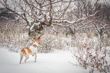 fox terrier gun dog hunting in winter gardens