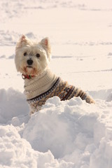 West Highland White Terrier in Snow