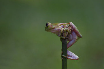 macro closeup of green forest tree frog hanging on a twig
