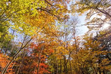 Sun light through fall maple foliage