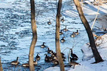 Geese floating on the frozen and slushy Apple river in Wisconsin