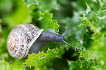 Garden Snail (Helix aspersa) on Green Leaves