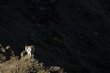 Ewe and Kid lit up against dark shadow