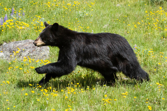Black bear running through field of green grass and yellow wildf