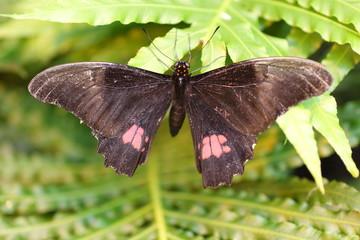 Fotoväggar - schwarzer Schmetterling