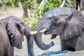 Two African elephants playing in water.