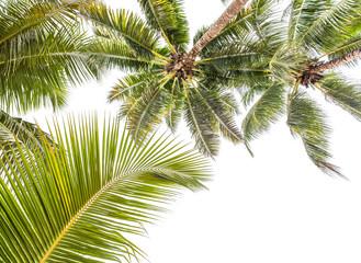 fond palmes de cocotiers