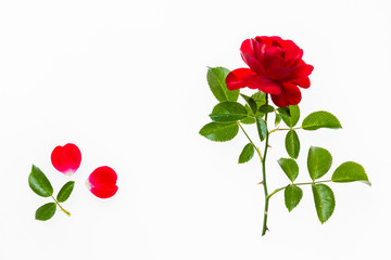 closeup of red tea rose isolated on white background