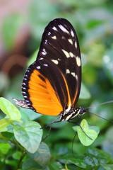 Fototapete - orange-schwarzer Schmetterling mit weißen Punkten