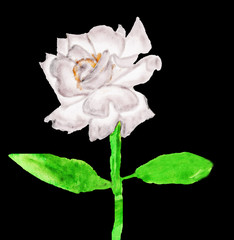 White rose, painting