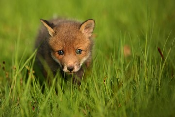 Red fox baby crawls in the grass, captive animal in the nature habitat, red fox puppy, european forest animals