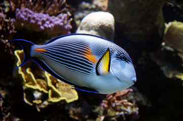 Blue parrot fish living in a coral reef