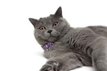 cat with purple collar on white background