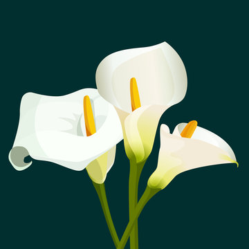 Bouquet of white calla lilies on dark green background