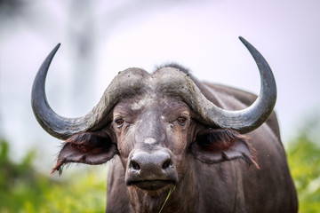 Photo sur Plexiglas Buffalo Cape buffalo starring at the camera.