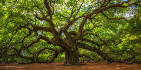 Aluminium Prints Trees Angel Oak Tree Panorama