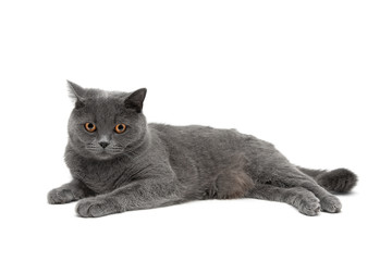 beautiful gray cat lying on a white background