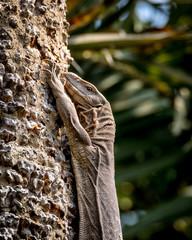 Monitor Lizard, india
