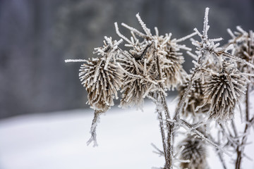 frozen flowers in winter