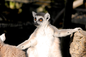 Close up portrait of a cute ring tailed lemur on the blurred background. Copy space for text.