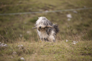 Long haired purebred dog bearded collie walking with wooden stick in his mouth. He is not comb and ready for everyday walks.