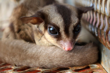 Australia sugar glider.Wild animals in cages.