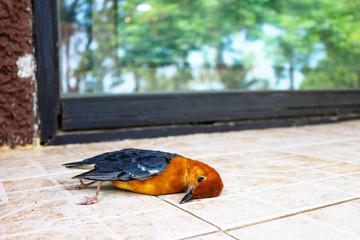 Dead birds on the ground becausefly into theglass. Orange-headed Thrush.