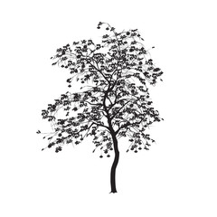 Silhouette: a mountain ash with leaves