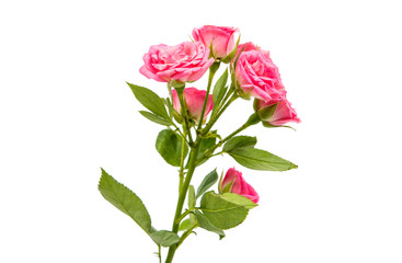 small rose isolated