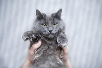 Fluffy gray cat lying on the owners hands