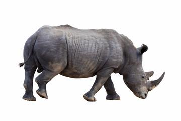 White rhino isolated.