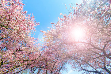 Glück, Freude, Farbe des Frühlings: Garten mit Japanischen Kirschblüten :)