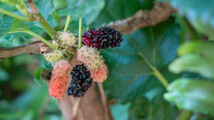 berry in farm