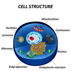 Structure of human cells. Organelles. The core nucleus, endoplasmic reticulum, Golgi apparatus, lysosomes, ribosomes, mitochondria, centriole. Vector illustration