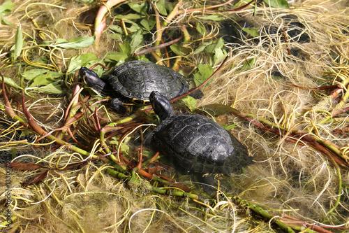 Coppia di piccole tartarughe nel lago di un parco for Lago per tartarughe
