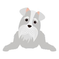 cartoon cute Schnauzer dog icon over white background. coloful design. vector illustration