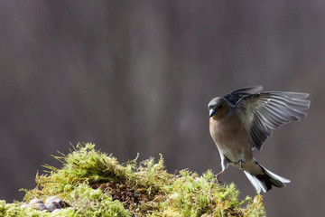 Birds Of Scotland