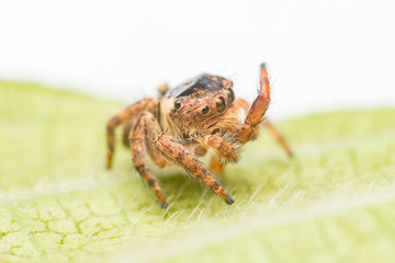 Small and tiny white and brownish jumping spider (Carrhotus sp.) eating its leg on a green leaf