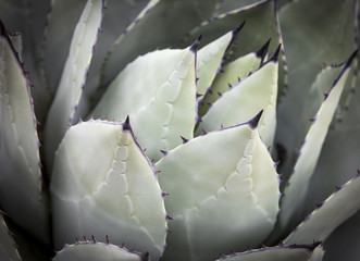 Green Agave Plant (Cactus)