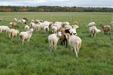 Sheeps Walking Away in a Field during Fall Season